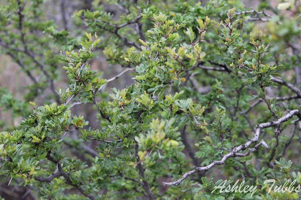 Blackbrush Acacia Project Noah