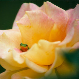 Frog rose by Richard Rabitaille - Animals Amphibians ( frog rose yellow red pink greens )