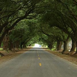 Oak Alley by Ron Olivier - Landscapes Travel ( oak alley )