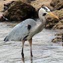 Galapagos Great Blue Heron