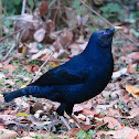 Satin Bowerbird (mature male)
