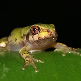 Little Green Frog by David Knox-Whitehead - Animals Amphibians ( green, frogs, small, amphibians, eyes )