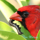 Northern Cardinal eating a Citrus Fruit-piercer caterpillar