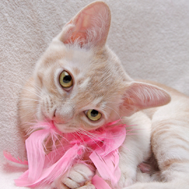 Playing with feathers by Mia Ikonen - Animals - Cats Kittens ( playing, finland, cute, feathers, burmese,  )