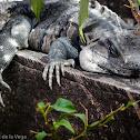 Mexican spiny-tailed iguana