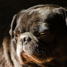 Sleepy Hooch by Pat Green - Animals - Dogs Portraits ( brown eyes, animals, sleepy dog, black pug, hooch, dog, pug, tired dog )