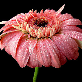 Dewy gerbera by Biljana Nikolic - Flowers Single Flower (  )