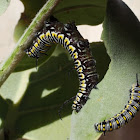 Plain Tiger Caterpillar and Butterfly