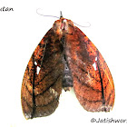Fruit pierching moth