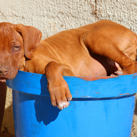 Who's the Boss by Mark Mücke - Animals - Dogs Puppies ( ridgeback, rhodesian ridgeback, puppy, lazy, namibia )