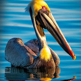 Pelican of the day. by Darryl Wilson - Animals Birds