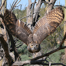 Ready for takeoff... by Don Sorensen - Animals Birds ( bird, nature, owl, great horned owl )