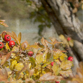 Red and Gold by Marjean Jolley - Nature Up Close Trees & Bushes ( #warm, #downthestreet, #gold, #red, #fall )