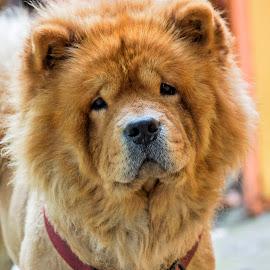 Chow chow by Serban Stelica - Animals - Dogs Portraits ( chow chow, dog portrait, dog )