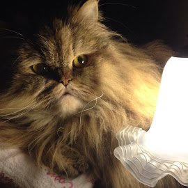 My cat tom by Priscilla Debattista - Animals - Cats Portraits
