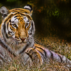 Tiger Pause by John Larson - Animals Lions, Tigers & Big Cats