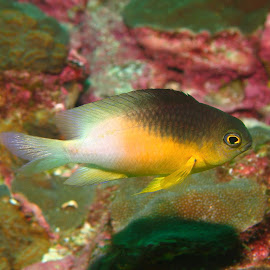 Damselfish by Phil Bear - Animals Fish ( coral, reef, fish, texas, damselfish )