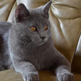 Inox plays ipad by Serge Ostrogradsky - Animals - Cats Kittens ( kitten, chartreux, ipad, inox )