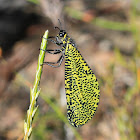 Great karoo antlion