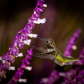 Anna's Hummingbird 2075 by Ken Wade - Animals Birds ( calypte anna, anna's hummingbird )