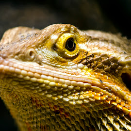 You Looking At Me? by Kelly Elle - Animals Reptiles ( cool, lizard, close-up, animal, eye )