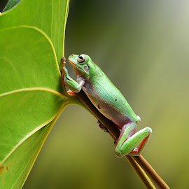 Looking Around by Andri Priyadi - Animals Amphibians ( nature, frog, dumpy frog, indonesia, animal )