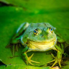 Danube Delta frog by Florin Ihora - Animals Amphibians ( frog, green, delta, romania, danube,  )