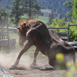 Gettin' up by Kansas Allen - Animals Horses ( farm, ranch, mud, canada, dust, horse, dirt, bc, lillooet, flies )
