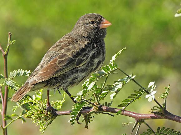 Family Thraupidae - Peru Birds | Peru Birds