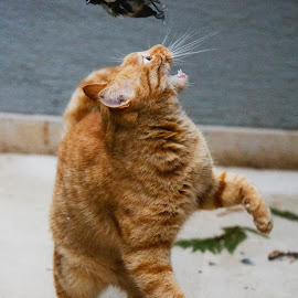 Cat Playing by Petros Sofikitis - Animals - Cats Playing ( playing, bird, flying, cata, fur, teeth )