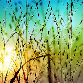 Evening Sun through the Grasses by Darlene Lankford Honeycutt - Nature Up Close Leaves & Grasses ( nature, sunset, wild grasses, dl honeycutt )