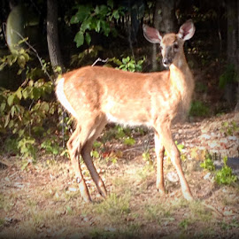 Beautiful bamby by Devin Riley - Animals Other ( deer bamby )