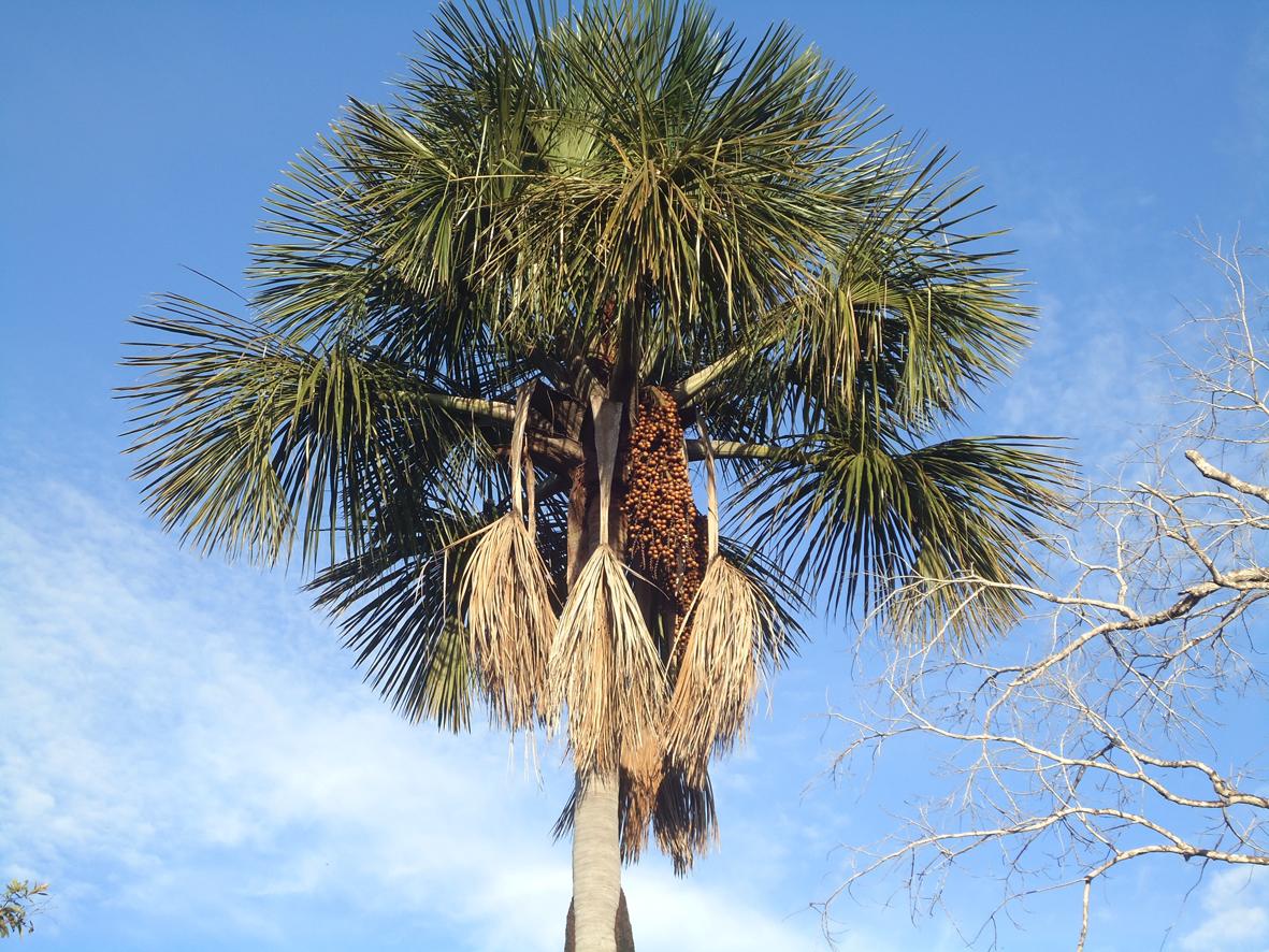Moriche Palm ( Buriti Palm : Brazil) | Project Noah