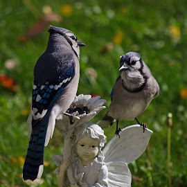Two Jays on Garden Pixie by Jeff Galbraith - Animals Birds ( jays, blue, ornament, perching, garden, birds, pixie )