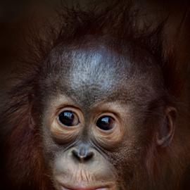 Thoughtful by Michael Milfeit - Animals Other Mammals ( orang utan, affe, menschenaffe, portrait, pongo, primat )