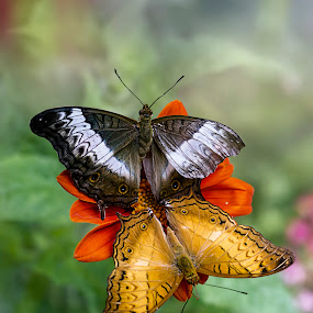 Two Butterflies by Alfonso Rahardja - Animals Insects & Spiders