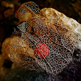 Sad Song  by Marija Jilek - Nature Up Close Other plants ( nature, lace lantern, quiver, plants, physalis alkekengi, fruit/seed )