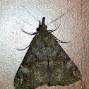 Bloxworth Snout Moth