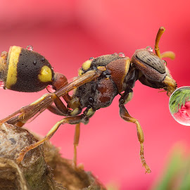 Wasp Blowing Water Bubble 141215A by Carrot Lim - Animals Insects & Spiders