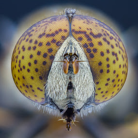 eristalinus sepulchralis by Cédric Nouvel - Animals Insects & Spiders