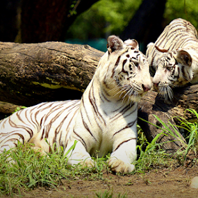 Love<3 <3 by D K - Animals Lions, Tigers & Big Cats ( white tigers, big cats, wildlife, tigers )