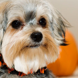 Ready For Halloween by Pamela NavarraWilliams-Shane - Animals - Dogs Portraits ( canine, peach color, furry, pumpkins, halloween portrait, grey, terrier, dog, cute dog, black, halloween )