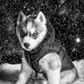 Winter Coat by Tracy Boyd Goodwin - Animals - Dogs Puppies ( jacket, huskies, pup, white, siberian, cute, blue, stars, snow, husky, fur, grey, puppy, dog, coat, black )