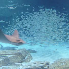 Stingrays and School by Jason Gaston - Animals Fish ( school, fish, aquarium, ocean, sea world, stingray )
