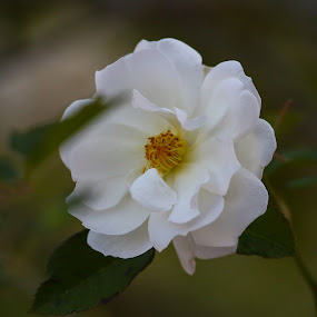 White Glory by Jared Lantzman - Flowers Flowers in the Wild ( wild, single, white, beauty, flower )