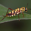 Wasp mimic beetle