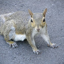 The Eastern Gray squirrel