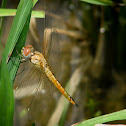 Yellow-tailed Ashy Skimmer (Chatur)