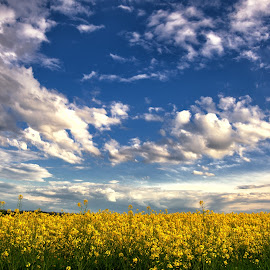 Rape Field by Marcel Socaciu - Landscapes Prairies, Meadows & Fields