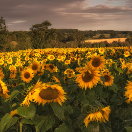 sunflower sunrise by Alan Ranger - Landscapes Prairies, Meadows & Fields ( algenon, info@alanranger.com, summer, sunflower, www.alanranger.com, sunrise, alan ranger )